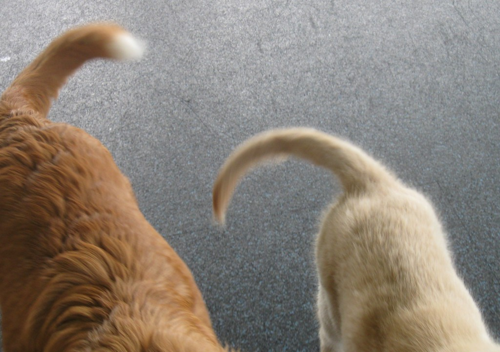 Honey wagging tails as a puppy with a friend.
