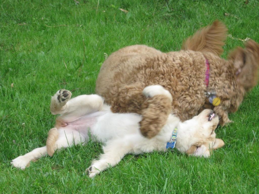 Honey the golden retriever puppy wrestles with a golden doodle.