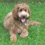 Congrats to Tashi–Canine Good Citizen