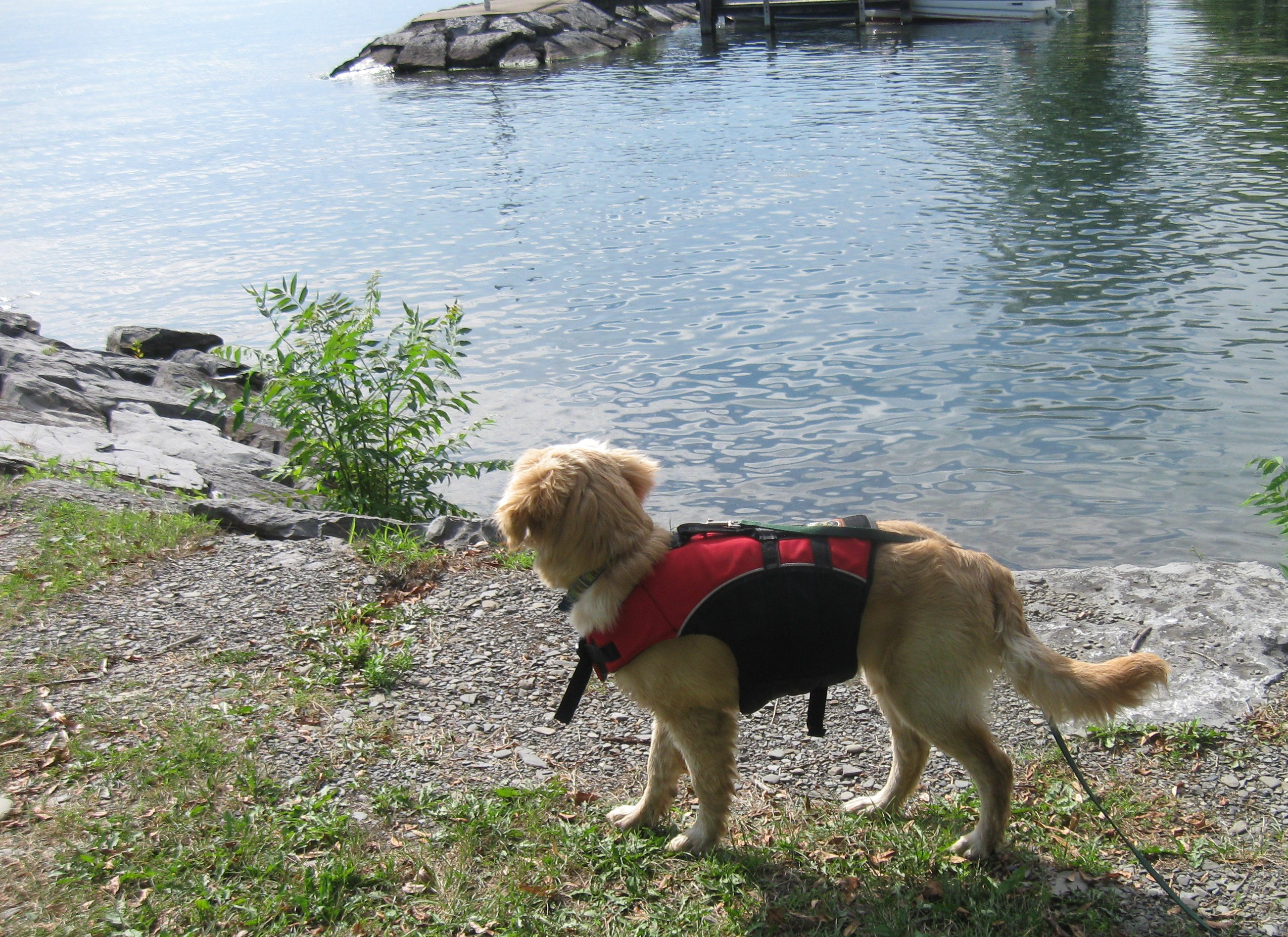 Golden Retriever Puppy in a Life Jacket looking at the Lake