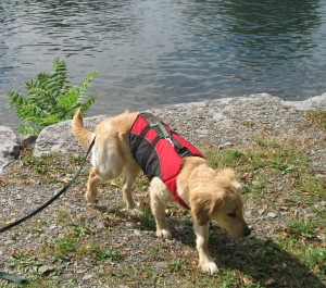 Golden Retriever Puppy in a Life Jacket Walking Away from the Lake