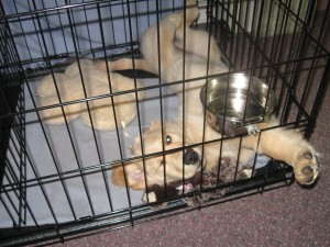 Golden retriever puppy sleeping on her back in a crate.