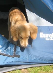 Golden retriever puppy leaving a tent
