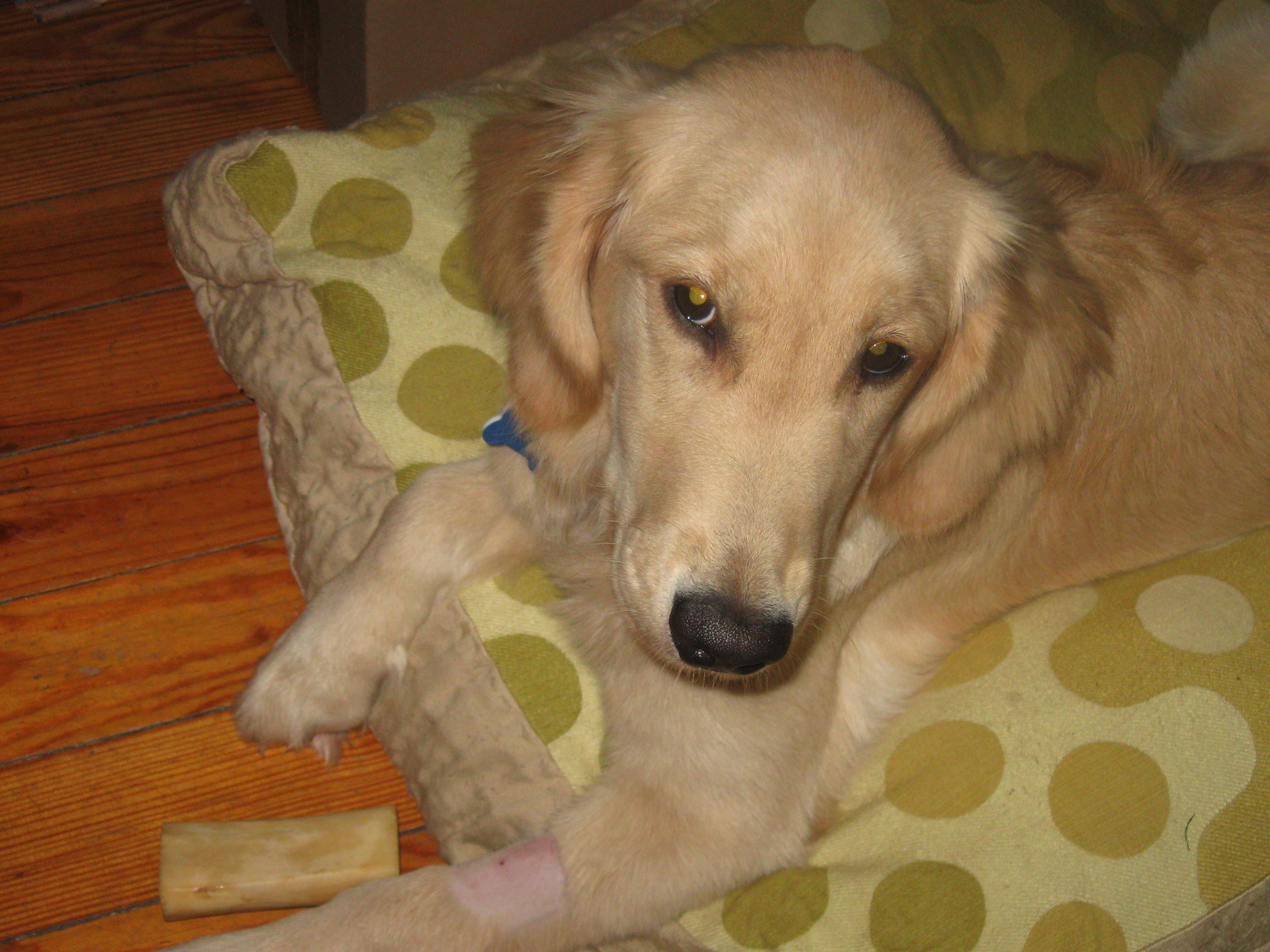 Golden Retriever Puppy on a Pillow.