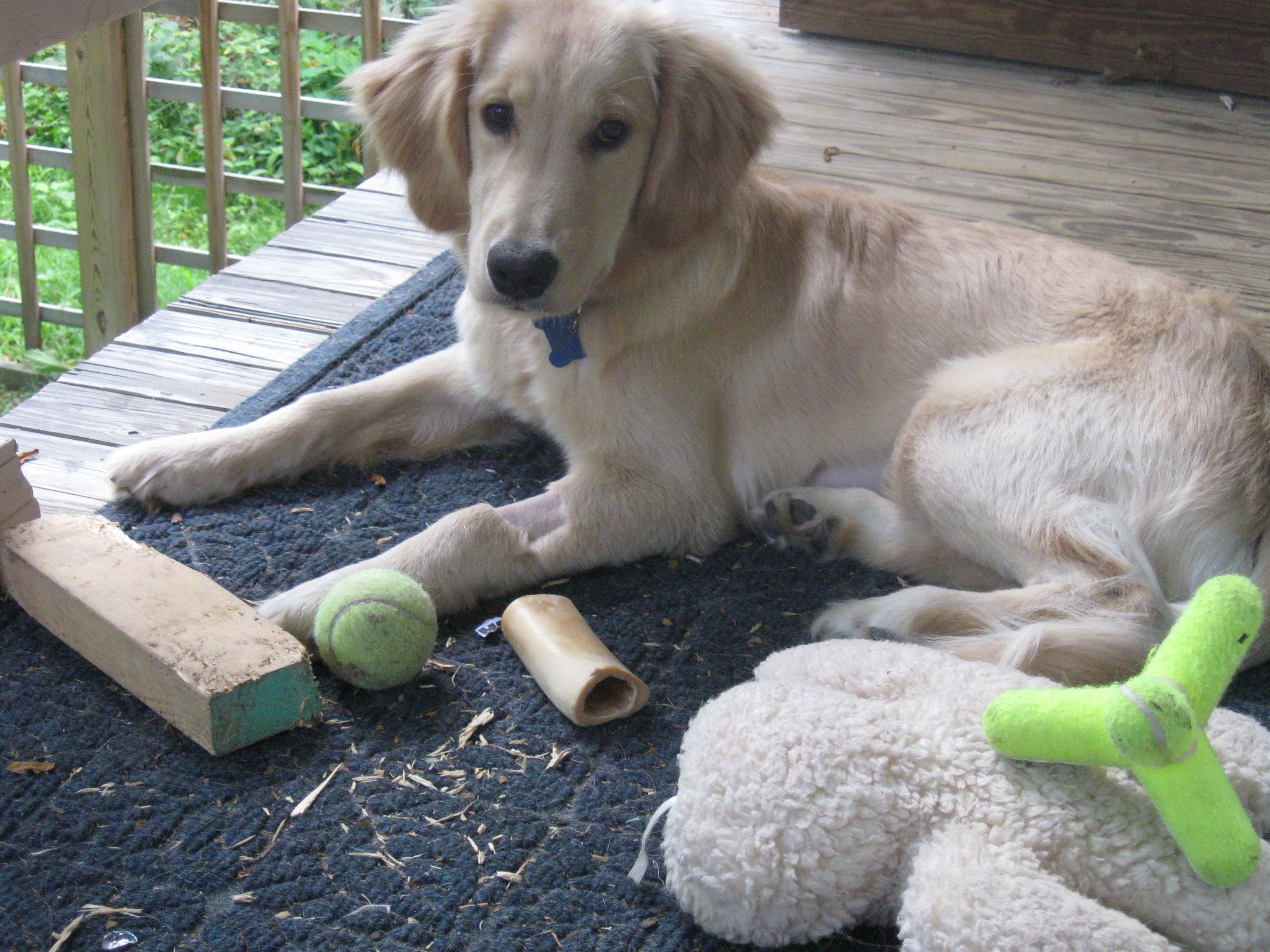 Golden Retriever puppy and toys.