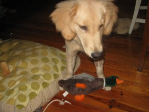 Golden Retriever Puppy with a Toy Duck