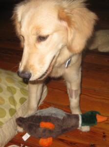 Golden Retriever Puppy and Toy Duck