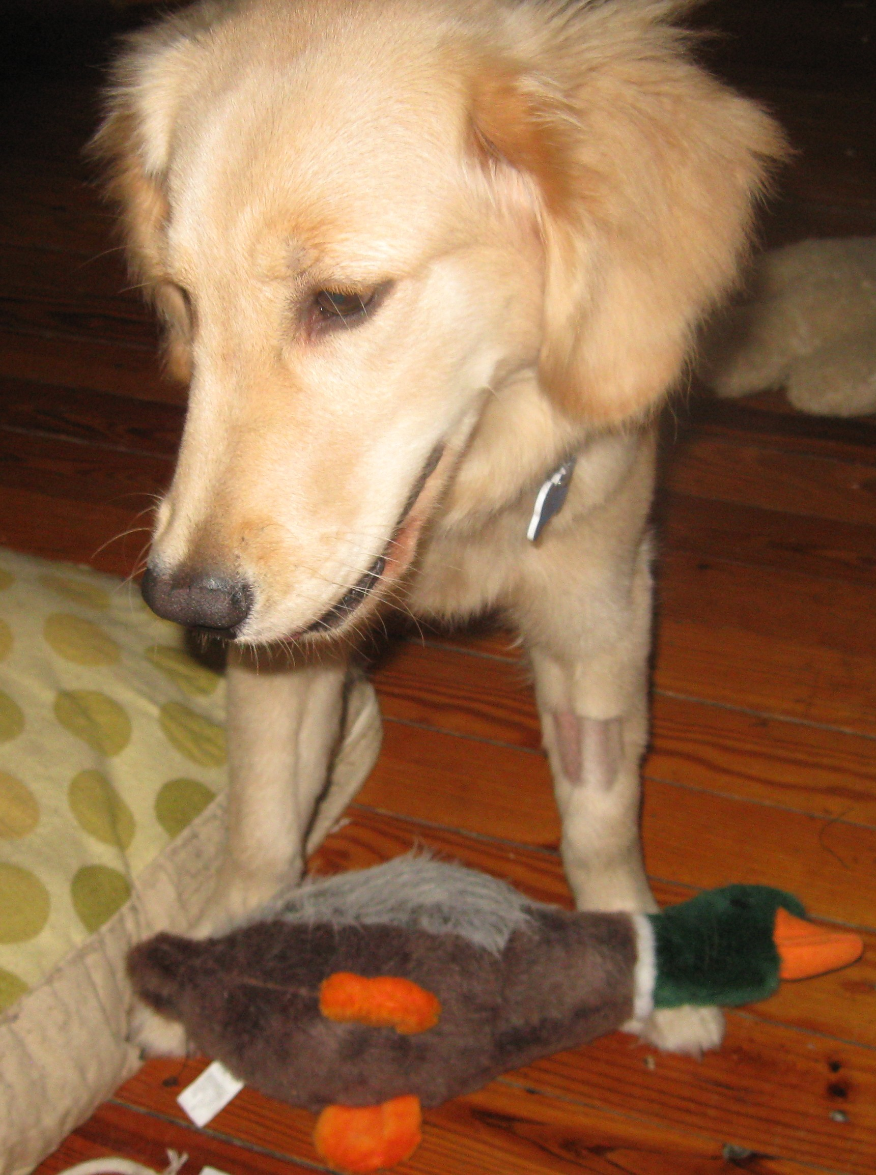 Golden Retriever Puppy and Toy Duck