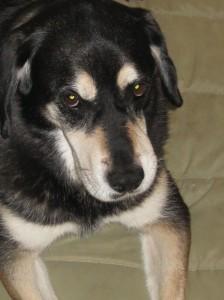 Hound Shepherd Mixed Breed Dog