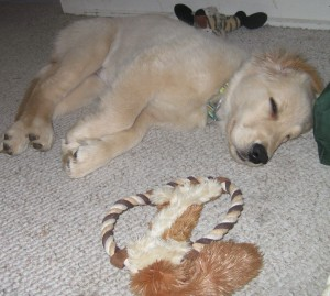 Golden Retriever Puppy Sleeping with Toys