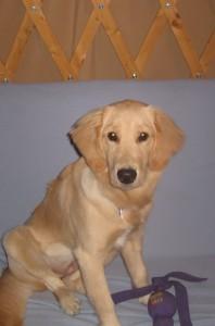 Golden Retriever Puppy in a Yurt
