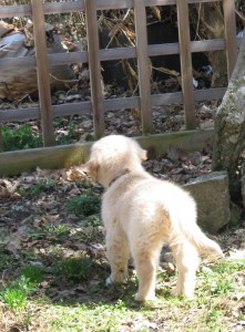 Golden Retriever Puppy at the Fence