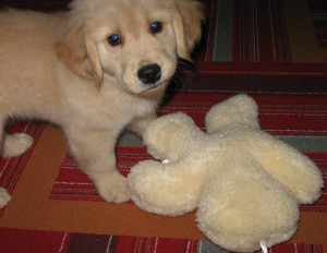 Golden Retriever Puppy with Stuffed Toy