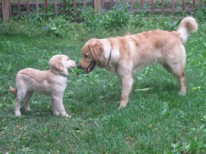 Golden Retriever adult and puppy.