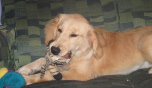 Golden Retriever Puppy Chewing Stuffed Toy