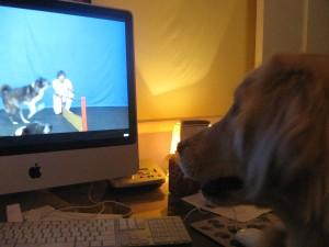 Golden Retriever watching TV