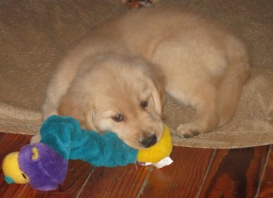 Golden Retriever Puppy and Toy