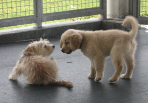 Golden Retriever Puppy Greeting a Terrier Puppy