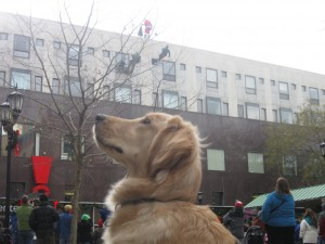 Golden Retriever Santa Rappelling Down Building