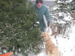 Golden Retriever with Pine