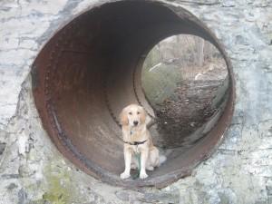 Golden Retriever in a Tunnel