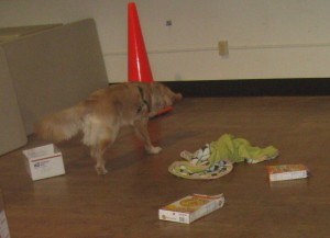 K9 canine nose work SPCA Golden Retriever