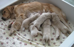 Golden Retriever Mom Nursing Puppies
