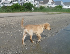 Golden Retriever Puppy at the Water's Edge