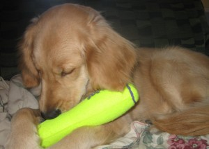 Golden Retriever Chewing Toy