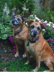 Two old dogs in a garden
