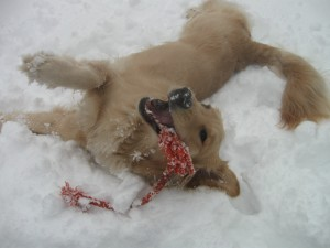 Golden Retriever rolling in snow