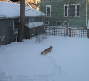 Golden Retriever in Deep Snow in Backyard