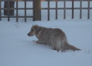 Golden Retriever in Deep Snow