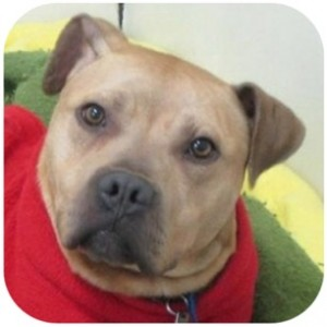 Bobby at the Tompkins County SPCA a pit bull terrier mix waiting to be adopted