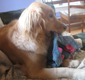 Golden Retriever Dog with toy