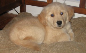 Honey the Golden Retriever Puppy