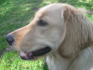 Golden Retriever on Something Wagging This Way Comes