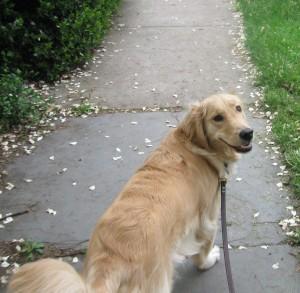 Golden Retriever on a leash
