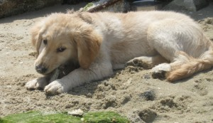 Golden Retriever puppy chewing on an oyster shell