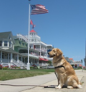 Golden Retriever on Beach Avenue in Cape May, New Jersey