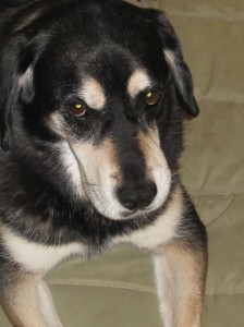 Black, mixed breed shelter dog