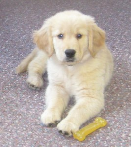 Golden Retriever Puppy with Nylabone at work