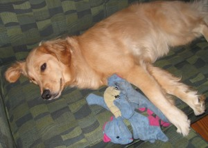 Golden Retriever napping with a stuffed dragon