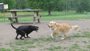 Golden Retriever and Black Dog Playing at Dog Park