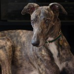 Wordless Wednesday – Adoptable Lacey in Upstate New York