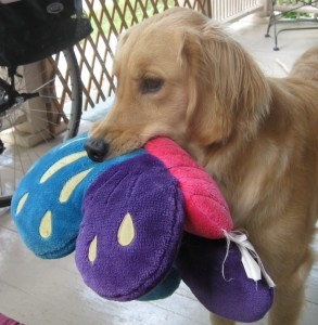 Golden Retriever Honey with stuffed toy