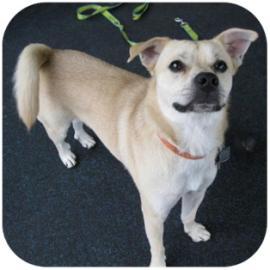 Harley - American Eskimo/Pug Mix for Adoption at Tompkins County SPCA