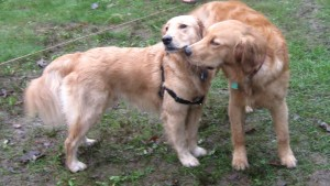 Two Golden Retrievers