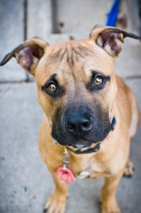 Beamer from the Montgomery County Humane Society - Love and a Six Foot Leash