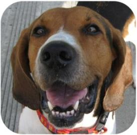Adoptable Oonagh - Hound Mix at Tompkins County SPCA